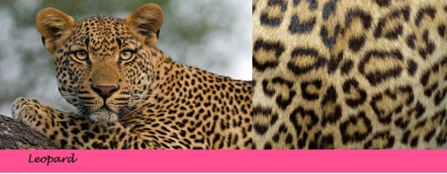 {Leopard Print} Learn the difference between animal prints on City Southern Blog! city southern.wordpress.com
